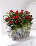 trandafiri-3